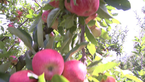 Royal Gala apples on tree Footage
