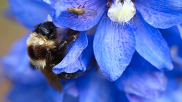 Bumblebee and fly on a flower Footage