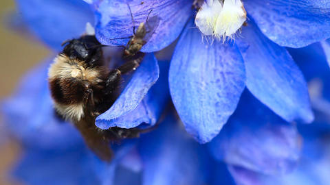 Bumblebee and fly on a flower Stock Video Footage