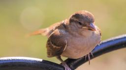 A sparrow Footage