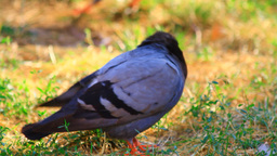 Pigeon In Lawn Stock Video Footage