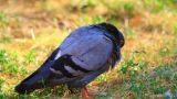 Pigeon In Lawn  stock footage