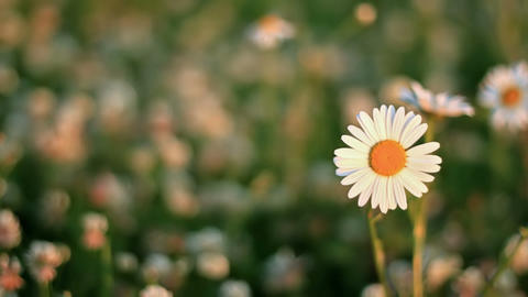 Daisies on a meadow of clover Stock Video Footage