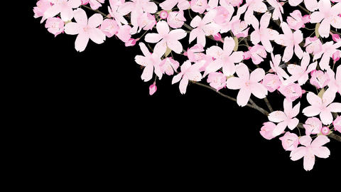 Sakura 2 Am HD Animation