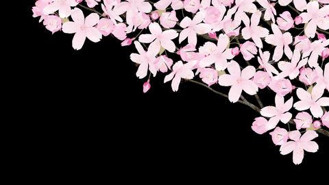 Sakura 2 Am HD Stock Video Footage