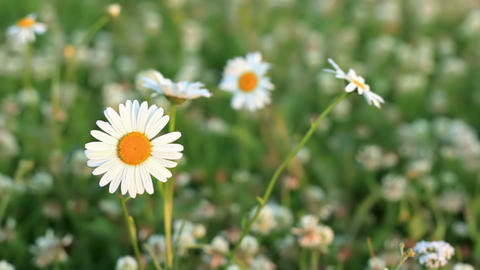 Daisies on a meadow of clover Footage