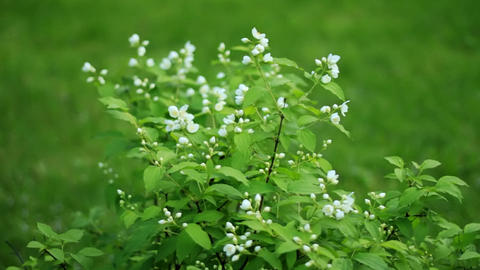 Jasmine flowers Stock Video Footage