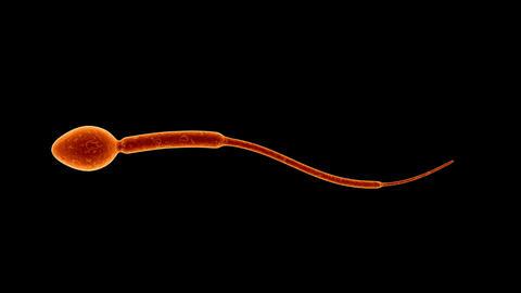 spermatozoa 01 Animation