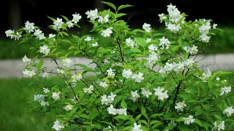 Jasmine flowers Stock Video Footage
