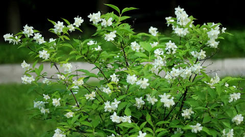 Jasmine flowers Footage