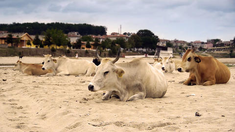 Dairy cows (Bos taurus) resting on beach Footage