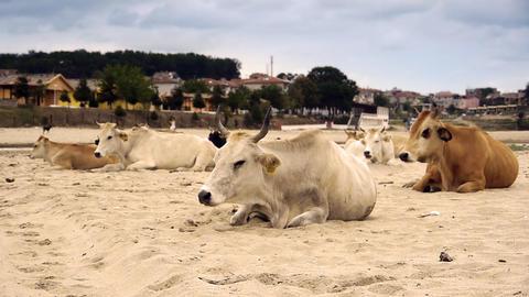 Dairy cows (Bos taurus) resting on beach Footage