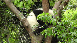 Panda in Chengdu Sichuan China 20 Footage