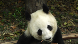 Panda in Chengdu Sichuan China 14 Footage