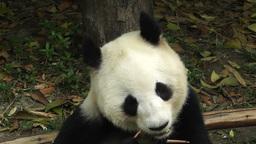 Panda in Chengdu Sichuan China 14 Footage