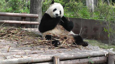 Panda in Chengdu Sichuan China 17 Stock Video Footage