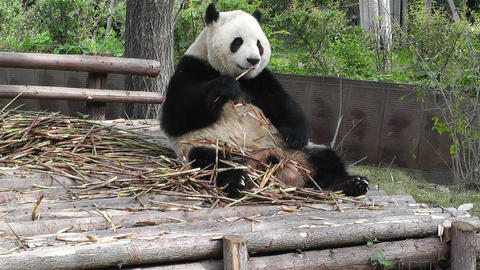 Panda in Chengdu Sichuan China 17 Footage