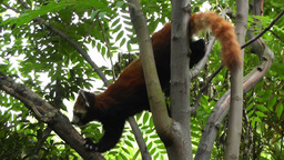 Red Panda in Chengdu Sichuan China 3 handheld Stock Video Footage