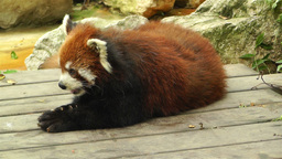 Red Panda in Chengdu Sichuan China 7 handheld Stock Video Footage