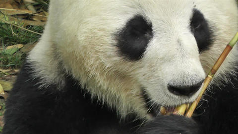 Panda in Chengdu Sichuan China 16 Footage