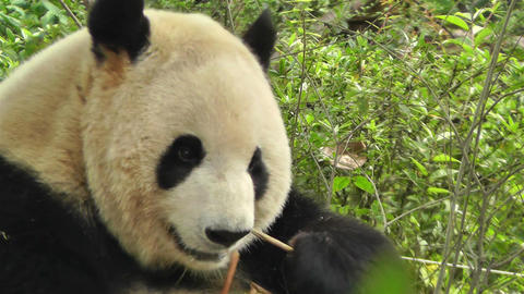 Panda in Chengdu Sichuan China 19 Footage