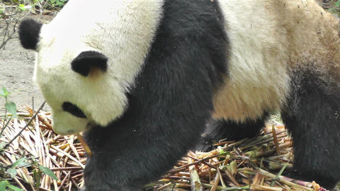 Panda in Chengdu Sichuan China 12 handheld Stock Video Footage