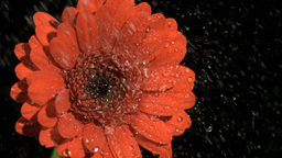 Rain falling in super slow motion on flower Footage