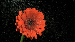 Rain falling in super slow motion on gerbera Stock Video Footage