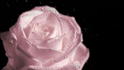 Rain falling in super slow motion on pink rose Footage