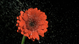 Water falling in super slow motion on gerbera Footage