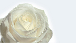 Flower being watered in super slow motion by the r Footage