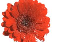Drops flowing in super slow motion on gerbera Footage