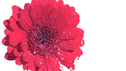 Water raining in super slow motion on pink gerbera Footage