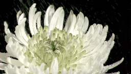 Water dripping in super slow motion on chrysanthem Stock Video Footage