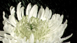 Water dripping in super slow motion on chrysanthem Footage