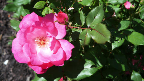 1791 Pink Rose on a Sunny Day, 4K Footage