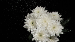 Bunch of white chrysanthemums in super slow motion Stock Video Footage