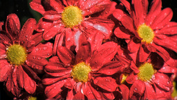 Red daisy flowers in super slow motion receiving w Footage