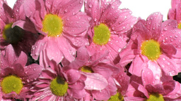 Rain in super slow motion falling on pink chrysant Stock Video Footage