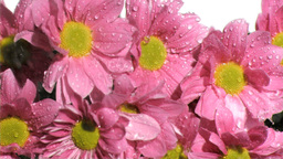 Rain in super slow motion falling on pink chrysant Footage