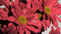 Red chrysanthemum in super slow motion being wet Footage