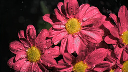 Pink chrysanthemums in super slow motion being soa Footage