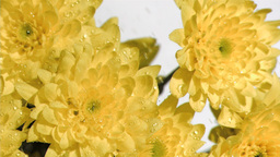 Yellow flowers in super slow motion receiving wate Stock Video Footage
