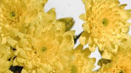 Yellow flowers in super slow motion receiving wate Footage