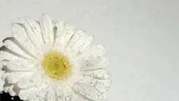 White flower in super slow motion receiving water  Footage