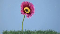 Beautiful flower in super slow motion receiving water drops Footage