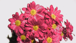 Bunch of pink flowers in super slow motion being w Stock Video Footage