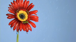 Red gerbera in super slow motion being soaked Stock Video Footage