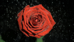 Beautiful rose in super slow motion being soaked Footage