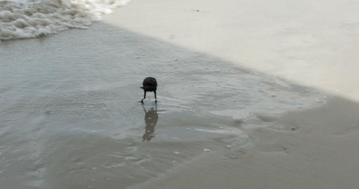 1810 Crow at the Beach in the Ocean Waves, 4K Stock Video Footage